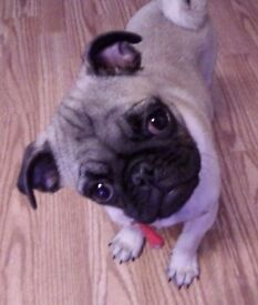 Pug in need of a loving new home