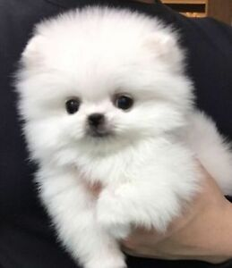 ❤Top quality❤ tiny teacup white Pomeranian pups❤❤~~~~~~