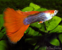 Jumbo Fancy Guppies For Sale