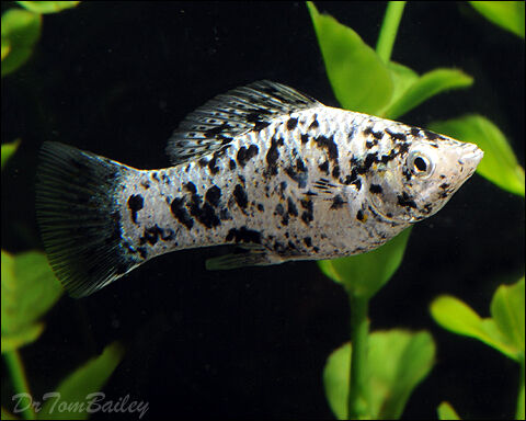 Baby molly dalmatian fish in ely cardiff gumtree for Molly fish for sale