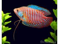 DWARF GOURAMI PAIRS TROPICAL FISH