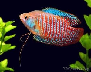 Dwarf gourami male red striped tropical freshwater aquarium fish Gawler East Gawler Area Preview