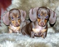 Rare Miniature dachshund puppies ALL SOLD TO LOVING HOMES