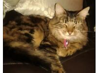 LONG HAIRED TABBY CAT FOUND HER WAY HOME