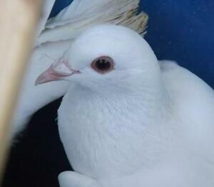 Wanted - white homing pigeons