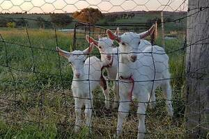 3 SAANEN GOATS FOR SALE - EXC DAIRY STOCK Elsmore Inverell Area Preview