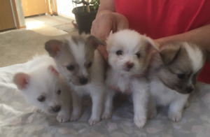 Poodle Chihuahua Cross Puppies