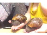 African snails for a good home