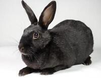 "Adult Female Rabbit - Bunny Rabbit: ""Midnight"""