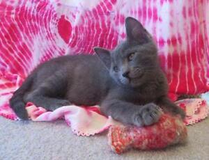 "Baby Male Cat - Russian Blue-Domestic Short Hair: ""HAWTHORN"""