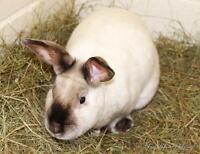 "Adult Male Rabbit - Cinnamon: ""Max"""