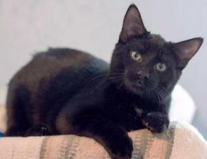 "Young Male Cat - Domestic Short Hair-black: ""Bear"""