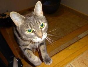 "Adult Female Cat - Domestic Short Hair: ""Salem"""