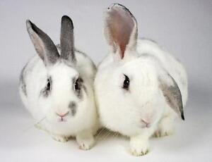 """Young Male Rabbit - Bunny Rabbit: """"Ace and Potter"""""""