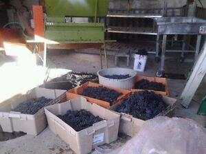 Wine Grapes $1.00 per pound