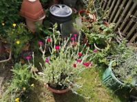 Extra large pots of lychnis in flowers