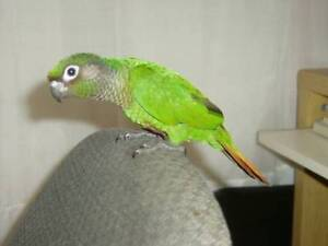 ⭐Conure Baby Available with Cage⭐