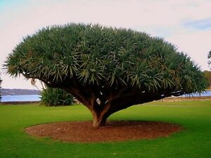 10 Seeds Canary Island Dragon blood tree (Dracaena draco) showy, exotic CombSH