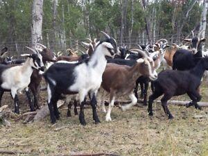 Reg. Sheep & Goat Sale - Sept. 25th - Tofield, AB