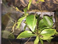 Free young Indian Stick insects various sizes available 27th Oct (Carausius morosus)