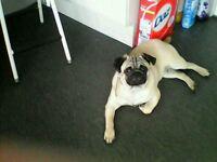 7 month old boy pug
