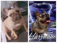 Merle & blue fawn French Bulldog Puppies