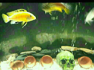 9 African chiclids and 2 bottom feeders