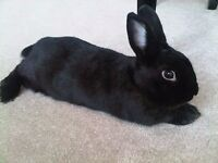 Beautiful black fluffy rabbit for sale plus large cage and accessories genuine reason for sale