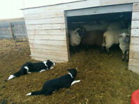 Border Collie pups out of working parents
