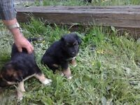 Super cute German Shepard x Australian Shepard puppies
