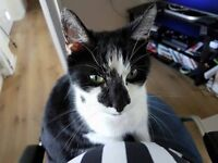 Lost Male Black and White Cat
