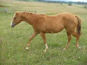 Quiet Overo Yearling Paint Filly Hernani Clarence Valley Preview