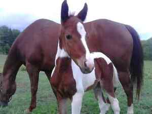 mare & 2 month old filly plus gelding
