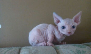 Chaton sphynx adorable