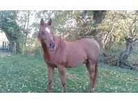 Arab Horses to share