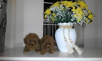 Adorable Baby Face Red Teacup and Toy Poodle