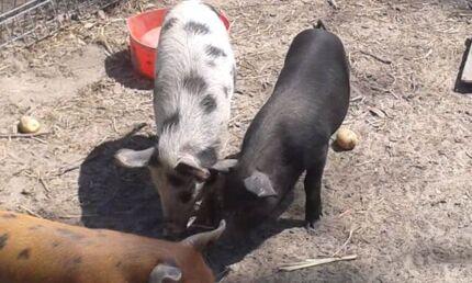 Boar piglets Calavos Bundaberg Surrounds Preview