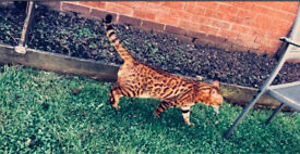 F4 ROSETTED BENGAL BOY FOR SALE CHAMPION BLOODLINE