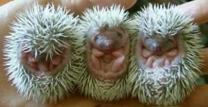 HEDGEHOGS - BABY HOGLETS FOR SALE! Great Pets! Cages available