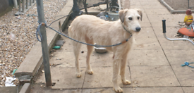 SALUKI GREYHOUND VERY WELL BRED DOG