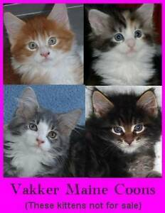 Pedigree Maine Coon Kittens, Home raised, not in enclosures Everton Park Brisbane North West Preview