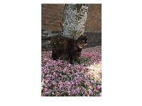 Lost cat Kelvindale