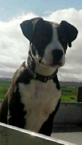 Beautiful pup for sale Singleton Singleton Area Preview