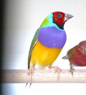 Gouldian finches $75pr Rooty Hill Blacktown Area Preview
