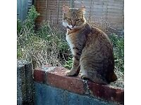 MISSING female tabby cat in the Woodley area