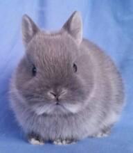 Christmas Netherland Dwarf Rabbit Babies - Purebred Joondalup Joondalup Area Preview