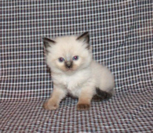 Ragdoll kittens purbred registered Lithgow Lithgow Area Preview