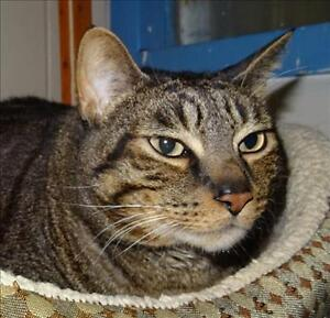 "Adult Male Cat - Domestic Short Hair: ""Huey"""
