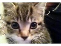 Nine week old kitten
