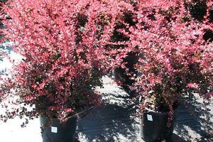Berberis 'Rose Glow' à vendre